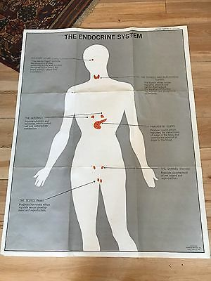 Vintage Anatomical Poster- The Endocrine System