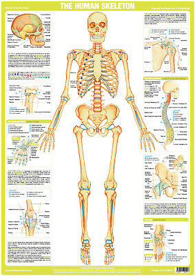Human Skeleton Chart, Muscles, Body, Anatomy, Medical Poster, Skeletal, Bones