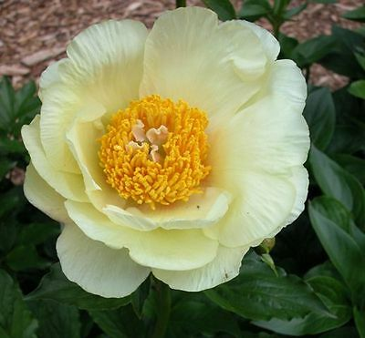 Paeonia  Empress Wu's Yellow -  1 middle size tuber-3-5 eye division   bareroot