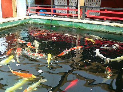 Japanese koi carp collection for sale 2 for Local koi for sale