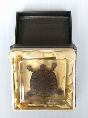 Tortoise Specimen in Lucite With A Box