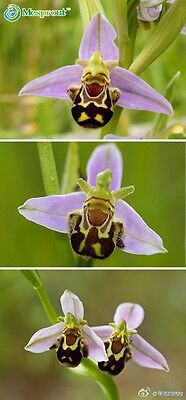 100 Seeds China Rare Flower Bee Orchid Flower Seed Smile Face Flower