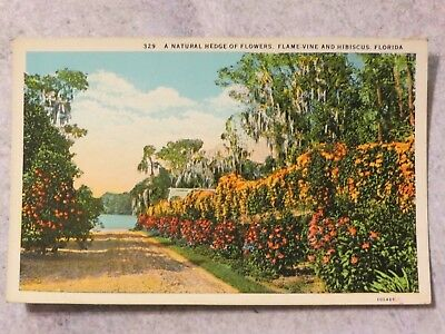 Vintage 1930s Postcard: A Natural Hedge of Flowers Flame Vine & Hibiscus Florida