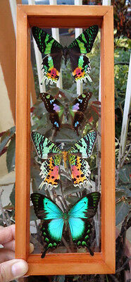"""4 Real Framed Butterflies 4.5""""x12.5""""inches Mounted Wood Frame Double Glass"""
