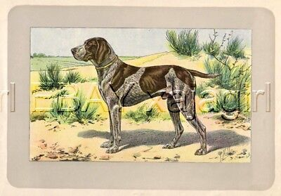 DOG German Shorthair Pointer, Rare Antique 100-Year-Old French Dog Print