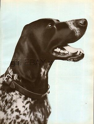 DOG German Shorthaired Pointer Deutsch Kurzhaar, Beautiful 1930s Art Print
