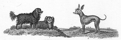DOG King Charles Spaniel & Hairless As Looked 200 Yrs Ago, 1820 Engraving Print