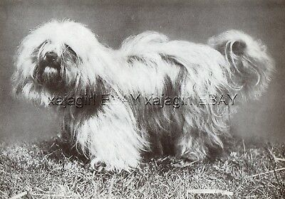 DOG Lhasa Apso Show Dog in Richmond England, Vintage Print 1930s