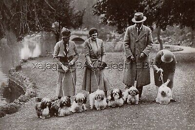 "DOG Lhasa Apsos at Cheltenham Show England ""Little Known Breed"" Print from 1930s"