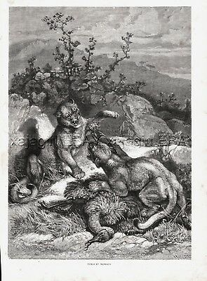 Mountain Lion Cougars Fight Over Rhea Ema, Large 1880s Antique Print & Article