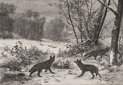 Wolf Pack Watches Deer Herd in Winter, Large 1880s Antique Print & Article