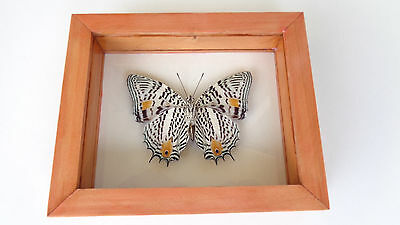 Real Peruvian Butterfly Baeotus **spectacular Camouflage Of This Butterfly**