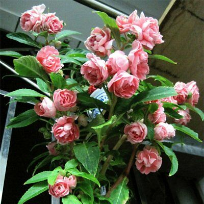 Double Camellia Impatiens Balsamina Flower Mix Color 30 Seeds
