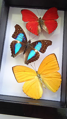 """3 Real Butterfly Framed **red, Green, Yellow** Black Wooden Box 4.5""""x6.5""""inches"""