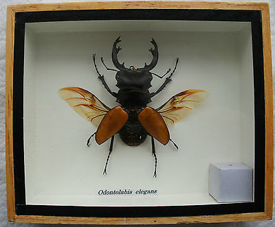 Orange Stag Beetle Odontolabis Insect Display Case Box Taxidermy Wings Spread