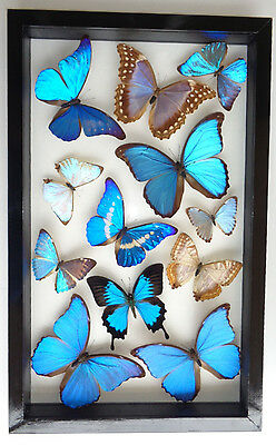 12 Real Butterflies Framed Peruvian 11 Blue Morphos And Papilio Ulysses
