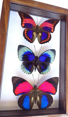 3 Real Butterflies Frame.**prepona Praenestre**see Thru Double Glass Amazing