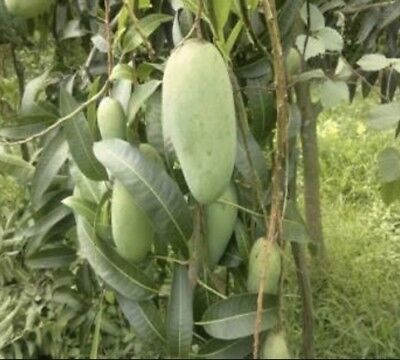 Tropical Fruit Trees - King Thai Mango - Grafted ( Sweet When Green And Yellow )