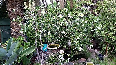 Large mature white flowering Camellia plants for sale
