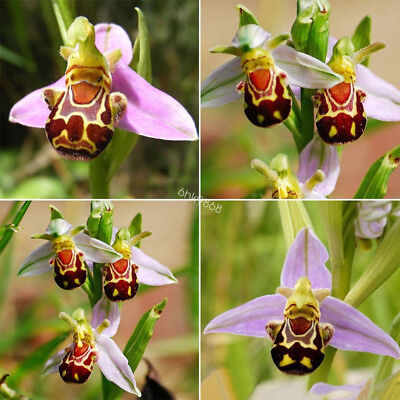 50pcs Rare Bee Orchid Flower Seeds Smile Face Home Outdoor Garden Plant Bonsai