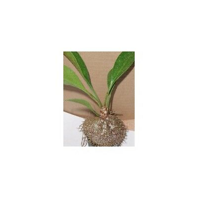 Ant Plant Collection Pot Plant Rare Exotic