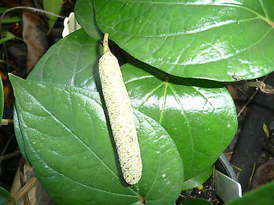 Piper DAKKA Mustard Leaf / Betel Leaf  Tropical Edible Plant