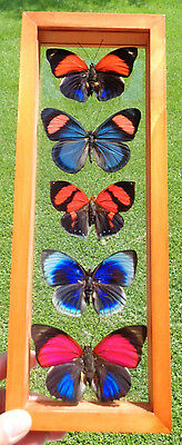 Wow 5 Real Framed Butterflies Amazing Butterflies Collection In A Wood Framed