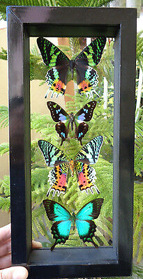 "4 Real Framed Butterflies Size 13""x6""inches Double Glass Great Finish Amazing"