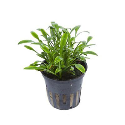 Live Tropical Aquarium Foreground Aquatic Plants For Sale Cryptocoryne Parva