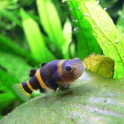 Peacock goby tateurndina ocellicauda stunning for Live tropical fish
