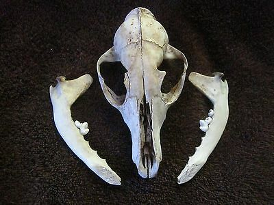 Mystery Animal Skull and Jawbones REAL!