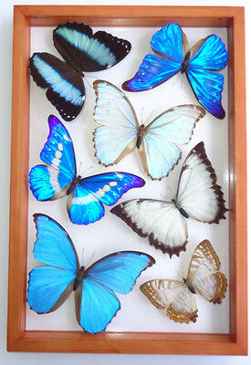 7 Real Framed Butterflies Blue Morpho Collection Mounted Double Glass