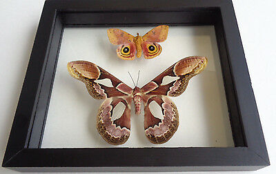Real Framed Saturniidae Moth Pair Male Rothschildia Peru Double Glass.