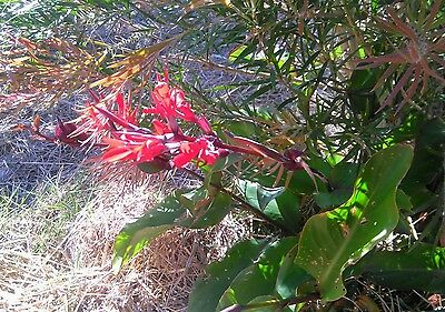 """Canna indica """"Indian Shot"""" 10x seeds. Red flower. Tropical foliage. Easy to grow"""