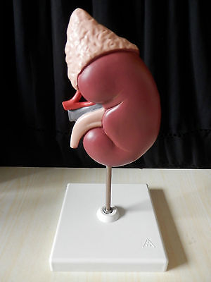 Anatomical Kidney With Stand