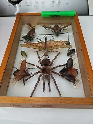 Rare South American insect collection