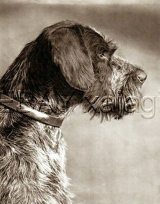 DOG German Wirehaired Pointer Portrait Deutsch Drahthaar, Qualtiy 1941 Print