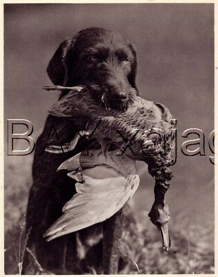 DOG German Wirehaired Pointer Retrieves Duck, Quality Vintage 1941 Print