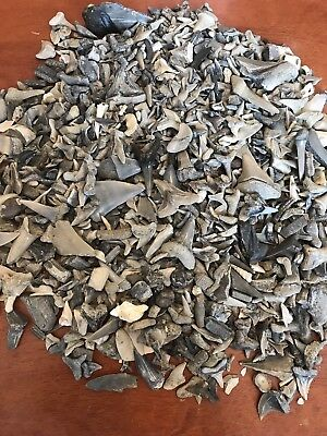 Lot of 50 Aurora NC Fossil Shark Teeth