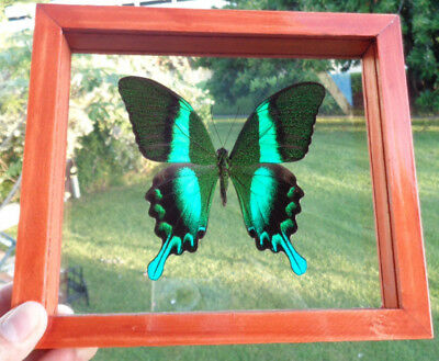 """Real Framed Butterfly Papilio Blumei (Indonesian) Size 6.5""""x7.5""""inches Great Fin"""