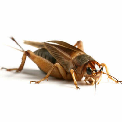 Large Silent Brown Crickets 15-20mm - 50 Pack