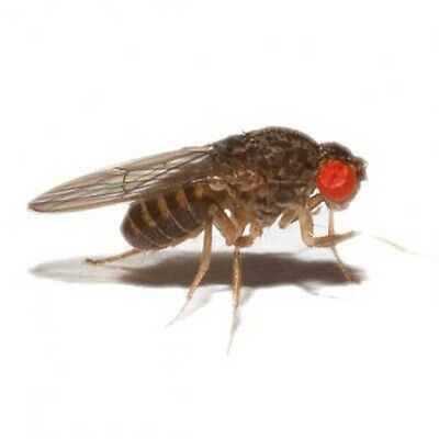 Flightless fruitfly 2-3mm - Flies Only