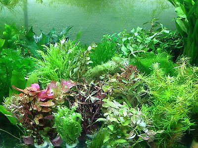 !! ANGEBOT !! 70 Aquariumpflanzen Bunter MIX Aquarium Pflanzen (€0,195/Stk)