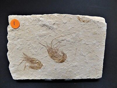 Excellent Quality  Two  Shrimp Fossil  in matrix. 95 m.y.o + Display Stand