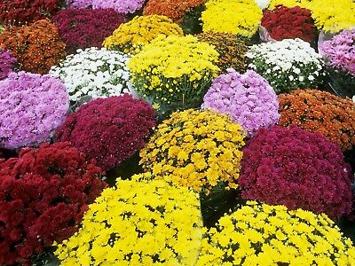 Mums Mix Color Fall Flowers -1-Live Starter Plant Winter Hardy And Fast Growing