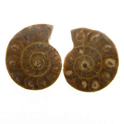 40.8 Cts Best Quality 1 Pair Fossil Ammonite 21x27mm Beautiful Gemstone ER10106