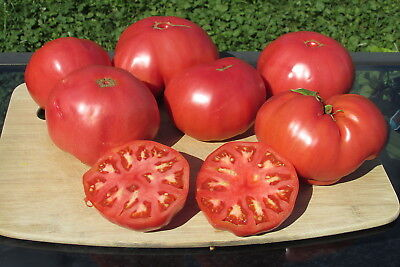 Huge Beefsteak McClintock/'s Big Pink Organic Heirloom Tomato Seed 40 Seeds