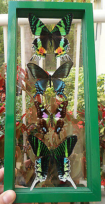 4 Real Framed Butterflies Mounted In A Green  Wooden Frame Double Glass