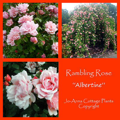 Albertine Rambling Rose - Highly Scented Double Flowers Bare Root ** 4 For 3 **