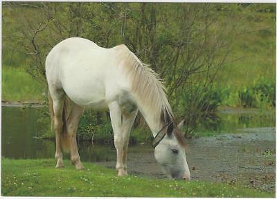 Horse Postcard - Grey New Forest Pony